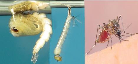 evolution-of-aedes-aegypti-mosquito-copia1